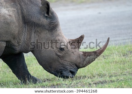 photo rhinoceros head chewing grass in the African savanna - stock photo