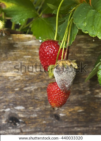 photo shows a close up of Botrytis Fruit Rot or Gray Mold of strawberries - upright format - stock photo