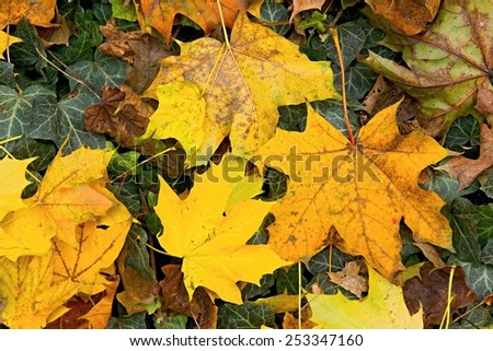 Photo shows a closeup of various colorful autumn leaves. - stock photo