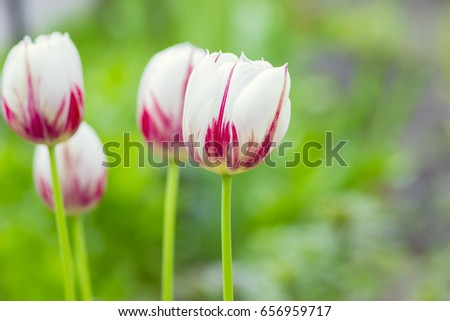 Photo splash of a beautiful red and white tulip on a bright green spring background
