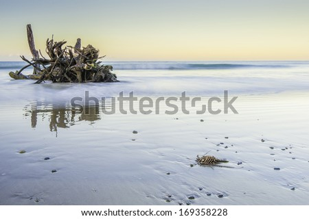 Photo taken is the soft dawn light of a dead lobster washed up on shore. - stock photo