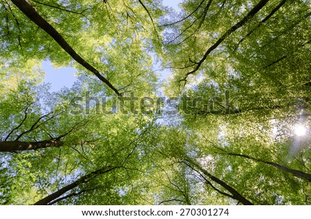 Photo taken with a wide-angle lens in a beech forest, Germany, Rothaargebirge / Tree tops of beeches in spring - stock photo