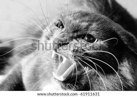 photo very agressive cat, cry, closeup, black and white color - stock photo