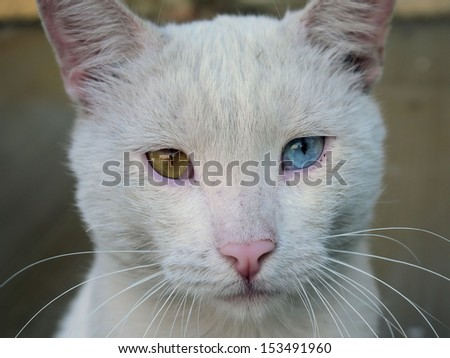 Photo white cat with the eyes of a different color.