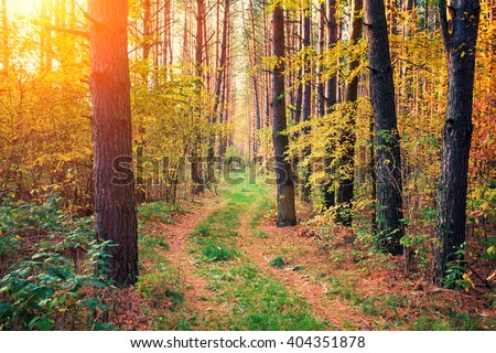 Photografer walking in the pine forest at sunset - stock photo