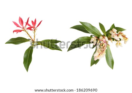Photograph in the style of a botanical illustration of Pieris Japonica, showing flowers evergreen foliage and red bracts - stock photo