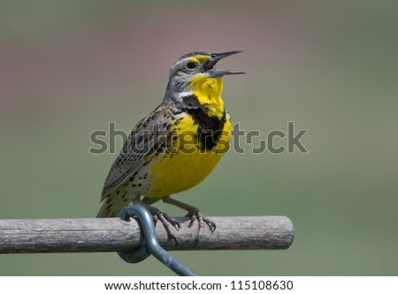 Photograph of a beautiful and brightly colored Western Meadowlark singing from its perch on a sign in a midwest grassland. - stock photo