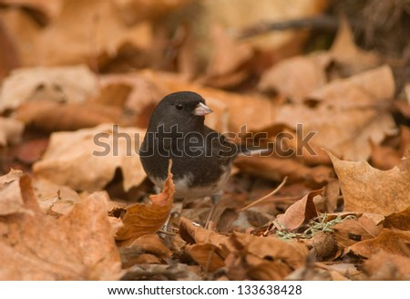 Photograph of a beautiful Dark-eyed Junco, previously called Slate-colored Junco, feeding on the ground amidst some fallen autumn leaves. - stock photo