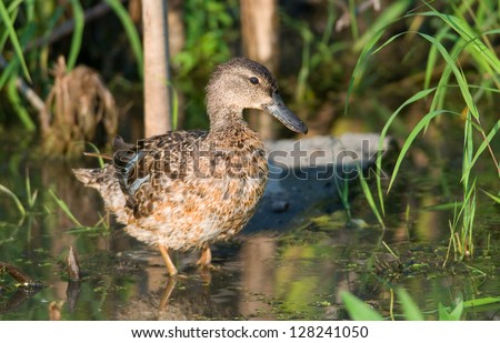 Photograph of a beautiful female Blue-winged Teal standing in the shallow waters of a midwest marsh stunningly lit by early evening light. - stock photo