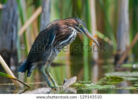 Photograph of a beautiful Green Heron poised happily on a log after successfully grabbing a dragonfly out of the air in a midwest wetland. - stock photo