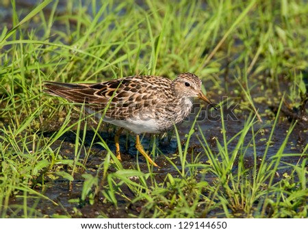 Photograph of a beautiful Pectoral Sandpiper feeding in the soft grass along the edge of a midwest marsh within  a National Wildlife Refuge. - stock photo