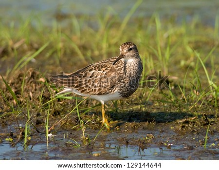 Photograph of a beautiful Pectoral Sandpiper stopping over at a midwest National Wildlife Refuge in migration and found feeding in the shallow waters of a marsh. - stock photo