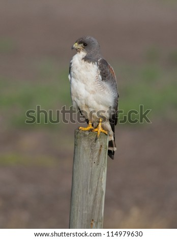 Photograph of a beautiful White-tailed Hawk resting on a fence post in a south Texas grassland. - stock photo