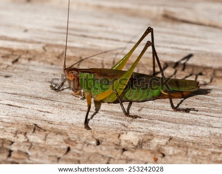 Photograph of a Black-legged Meadow Katydid resting on a rotted piece of wood on the edge of a Wisconsin prairie. - stock photo