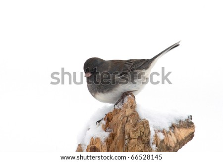 Photograph of a Dark-eyed Junco, Junco hyemalis, also called Snowbird, on a snowy perch nicely isolated against a white background in a Wisconsin garden. - stock photo