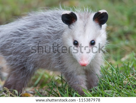 Photograph of a juvenile Virginia Opossum with frostbitten ears walking across a midwest lawn while foraging for food on an autumn day. - stock photo