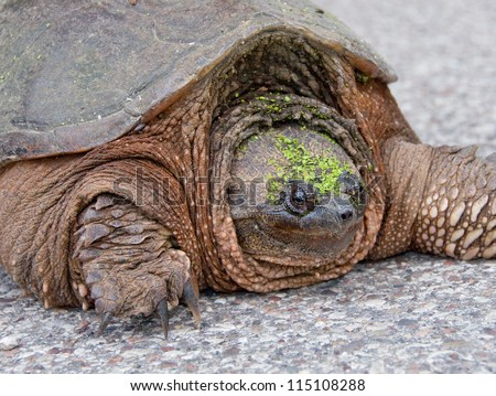 Photograph of a large and obese snapping turtle as it is found crossing a road wandering around looking for a place to lay its eggs in a midwest wildlife preserve. - stock photo