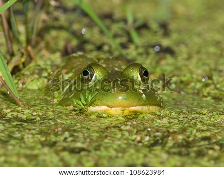 Photograph of a large predatory bullfrog submerged in a midwestern pond and covered with duckweed, eyes peering out straight at the photographer. - stock photo