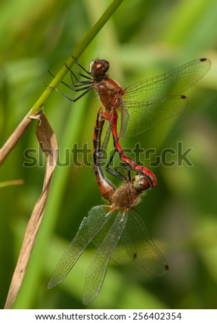 Photograph of a mating pair of White-faced Meadowhawk dragonflies near a southern Wisconsin park pond. - stock photo