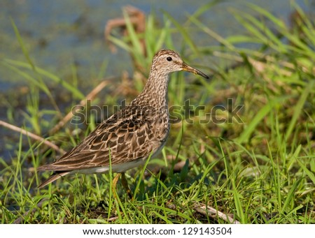 Photograph of a migrating Pectoral Sandpiper stopping to feed in a midwest National Wildlife Refuge. - stock photo
