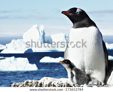 Photograph of a mother and baby Gentoo penguins. - stock photo