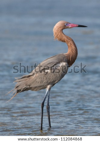 Photograph of a stately and beautifully colored Reddish Egret as it looks out over a Texas shallow coastal wetland. - stock photo