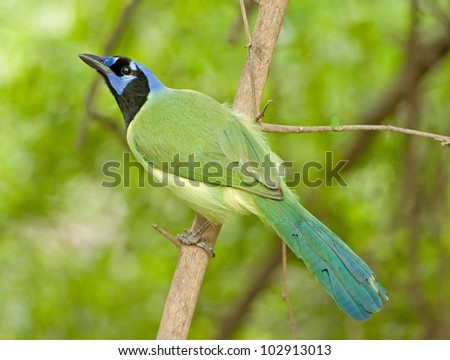 Photograph of a vivid green jay perched on a branch in a lush tropical forest.