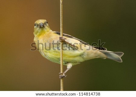Photograph of an American Goldfinch, staring straight at the camera while awkwardly grasping a vertical line that's holding a birdfeeder in a midwest garden. - stock photo