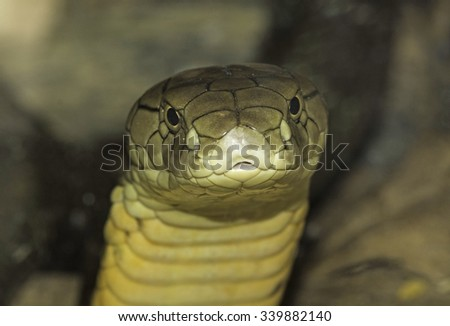Photograph of the head of a deadly King Cobra in its enclosure at a zoo. - stock photo