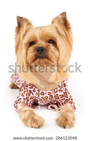 Photograph of the perfectly groomed Yorkshire Terrier in patchy overalls sits on white                           - stock photo