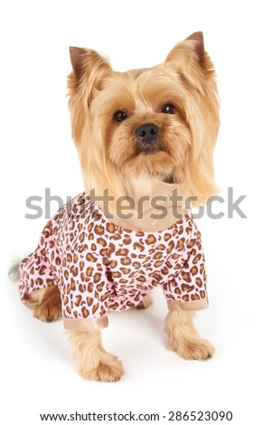 Photograph of the Yorkshire Terrier in patchy coveralls sits on white                           - stock photo