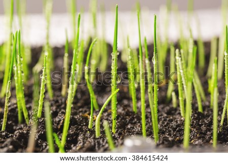 photographed by a close up wheat sprouts. focus in the photo center. small sharpness - stock photo