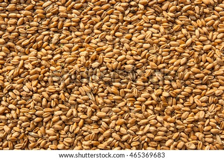 Photographed close up of ripe wheat after harvest as natural background. Grains of wheat is a perfect agriculture product.