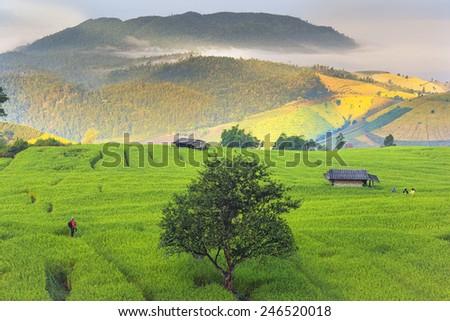 Photographer take a rice farm view - stock photo