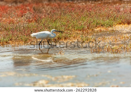 photographic image in landscape format of a little egret in its natural habitat of swampland or coastal wetland marsh hunting for food amongst the waters edge with reeds and succulent water plants - stock photo