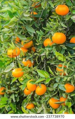 Photographs of oranges before being collected in the field itself