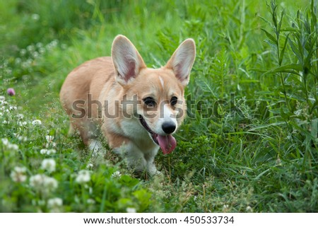Photography of A young puppy dog breed Welsh Corgi Pembroke runs happily across the grass field with his tongue hanging out