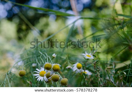 Photography of wildflowers in field. Soft tones bright colors. White chamomiles on green grass. Natural raw material for medical care, herbal tea, cure and cosmetics. Close up with blurry background.