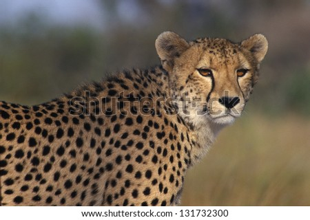 Photos of Africa, Cheetah's facing camera