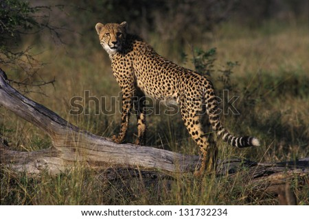 Photos of Africa, Cheetah stand on stump - stock photo