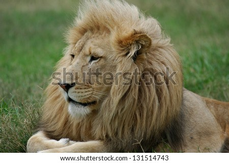 Photos of Africa,Male Lion head