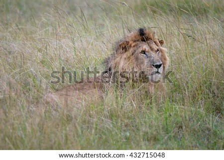 Photos wild lion lying in the grass of the African savanna, photographed in Kenya, Africa