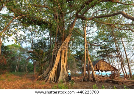 Phu Quoc island, Kien Giang province, VietNam - May 01, 2016 : tourists with giant banyan tree on Phu Quoc Island. tree of Life, amazing banyan tree.
