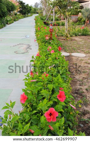 Phu Quoc island, Vietnam - February 1, 2014: A row of hibiscus flowers along a passage in Mercure Phu Quoc Resort.