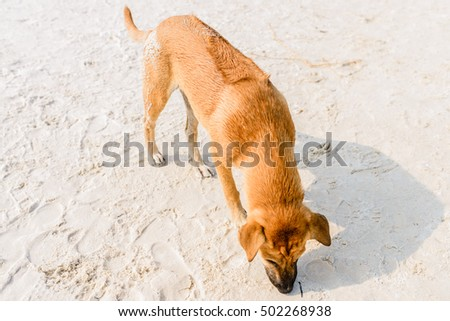 Phu Quoc Ridgeback, a breed of dog from Phu Quoc Island in Vietnam's southern Kien Giang Province