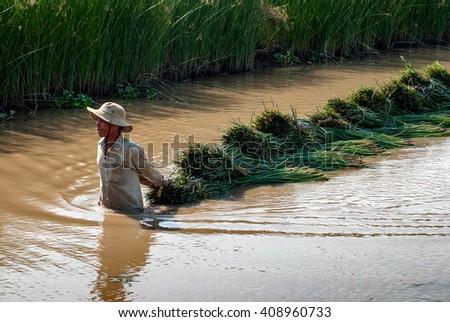 PHU YEN, Vietnam, August 22, 2015 farmers Phu Yen province, central Vietnam, harvesting papyrus