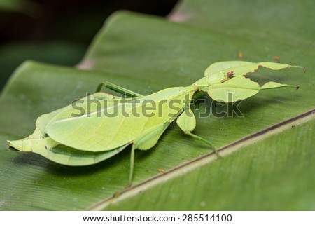 Phyllium giganteum, Leaf Insect walking leave, insect on tree in tropical forests from chiang mai, thailand. - stock photo