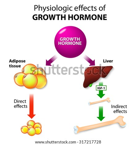Physiologic Effects of Growth Hormone. Direct and indirect effects - stock photo