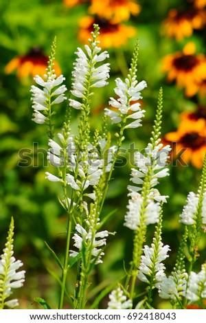 Physostegia virginiana white dragon head flower stock photo royalty physostegia virginiana white dragon head flower mightylinksfo