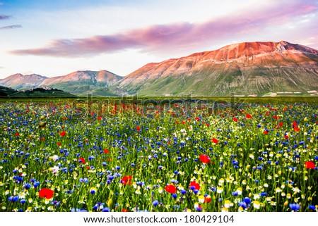 Piana Grande, landscape in bloom, flowering in Castelluccio - stock photo